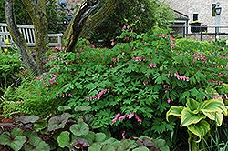 Common Bleeding Heart Dicentra Spectabilis At Gardener S Supply