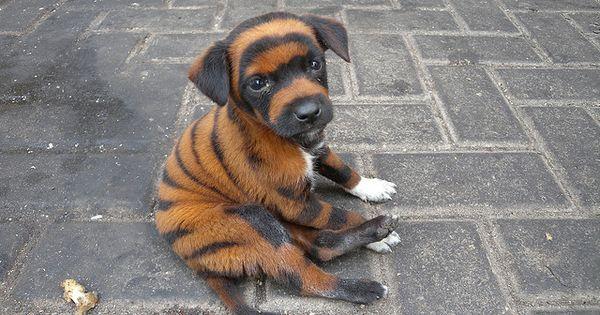 #funny animals. Tiger Puppy Dog. Lol