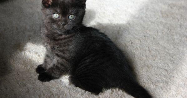 Black Smoke Tabby Dark Smoke Tabby Boy Tabby Black Smoke Cute Cats