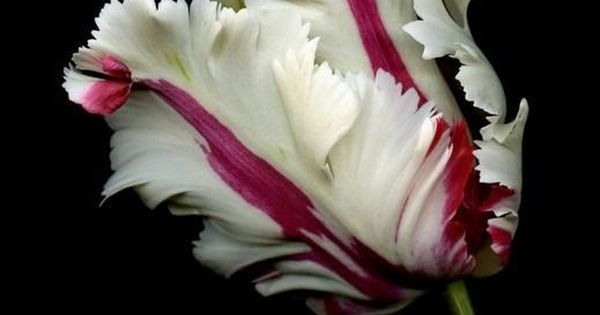 The beautiful parrot tulip