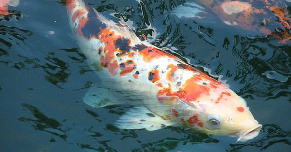 Calico koi koi fish and aquariums for Coy fish aquarium