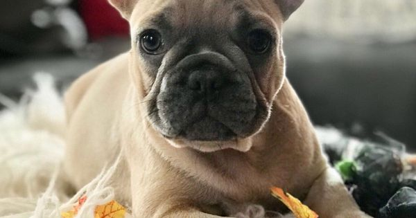 Teacup Mini French Bulldog Puppies For Sale White Baby Full