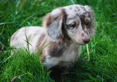Photo Gallery Washington State Dachshunds Dachshund Puppy