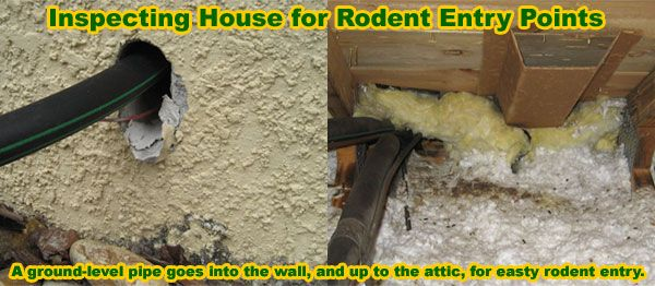 How Is A Rat Getting In My House Building Or Attic Rodent Inpsection Rodent Repellent Getting Rid Of Rats Rodents