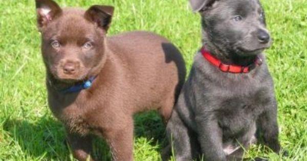 Pin By Monika Olson On Australian Working Dogs Australian Dog Breeds Working Dogs Breeds Working Dogs