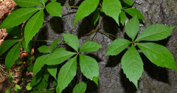 Virginia Creeper... I thought this was poison ivy for most ...