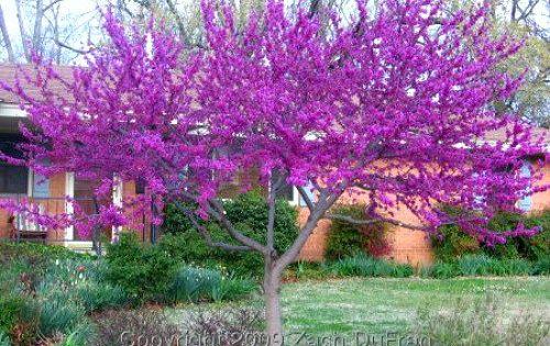 Western Redbud Tree Cercis Occidentalis 10 Seeds Showy