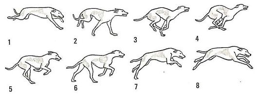 Greyhounds Have A Unique Double Suspension Gallop More Cat Like