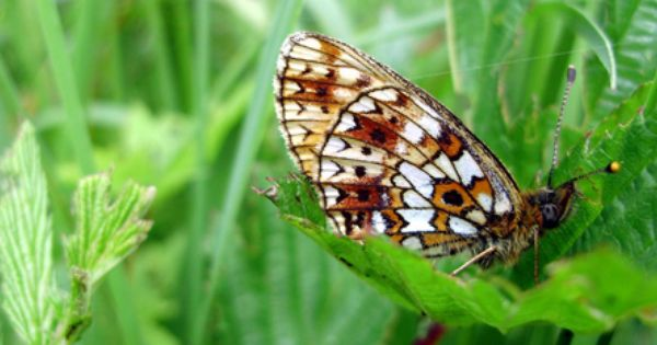 2013 Sumpfwiesen Perlmuttfalter Schmetterling Falter Insekten