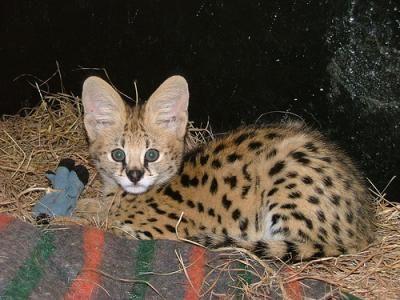 African Serval Cat African Serval Cat Serval Cats Wild Cats