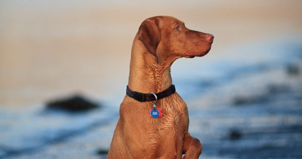 Holtabergs Askja Vizsla Dogs Vizsla Beautiful Dog Breeds