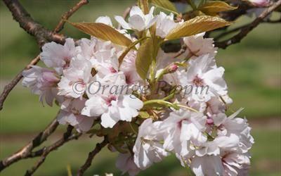 Prunus Amanogawa Japanese Flowering Cherry Tree For Sale Flowering Cherry Tree Ornamental Cherry Cherry Tree