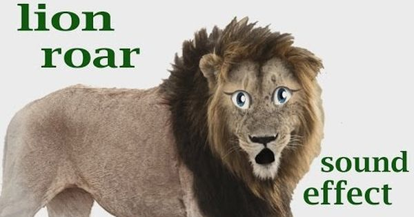 The Animal Sounds: Lion Roar - Sound Effect - Animation ... - photo#2