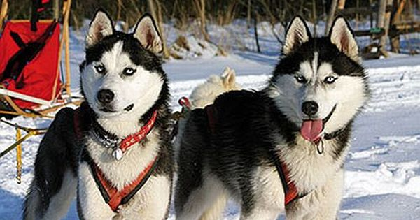 Huskies Erleben Schlittenhund Ammersee Schlittenhunde