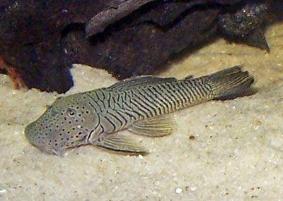 13 Best Algae Eaters For Your Aquarium Keep The Aquarium Clean Tag Best Algae Eaters Aquarium Best Algae Eaters For Aqu Pleco Fish Fish Freshwater Aquarium