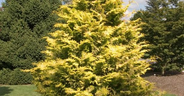 Goldilocks hinoki false cypress 15m x 10m slow growing for Slow growing trees for front yard