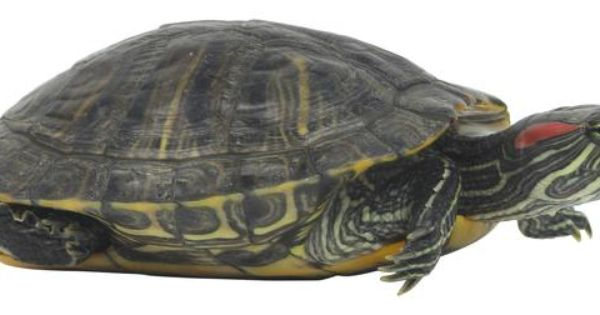 How To Know If A Water Turtle Is Mating Slider Turtle Turtle Habitat Red Eared Slider