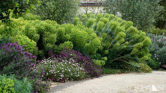 Euphorbia Wulfenii With Images
