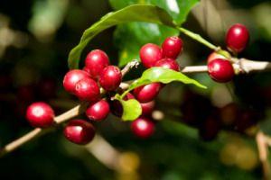 Coffee Berry Coffee Plant Coffee Recepies Coffee Varieties