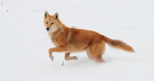 Red Coyote Coyotes Red Or Yellow Pinterest Amazing