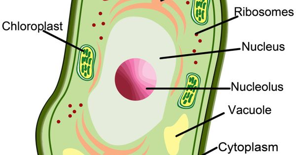 Plant cell plant cell model and cell model on pinterest