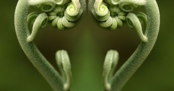 Fiddlehead fern heart photo - Mirrored image of fiddlehead fern forming heart.