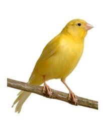 Afbeeldingsresultaat Voor Canarios Canarios Aves De Compañía Aves Exóticas