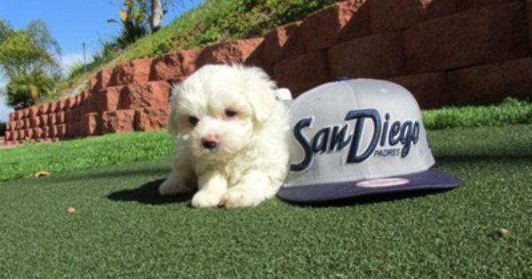 Cavalier King X Bichon Mix Puppy Cavachon San Diego Cavachon Puppies Bichon