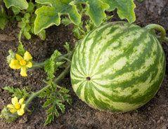 Unsere Tipps Und Tricks Zeigen Ihnen Wie Sie Ihre Wassermelonen Im Garten Selbst Anbauen Und Eine Reiche Ern Wassermelone Anbauen Garten Wassermelone Pflanzen