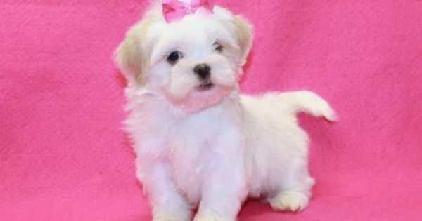 Shih Tzu Puppies At Yorkiebabies Com 1650 All White With Cream Ears Shih Tzu Puppy Teacup Puppies Tiny Puppies