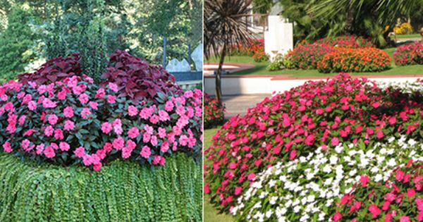 SunPatiens Impatiens Ideal For Growers Landscapers And