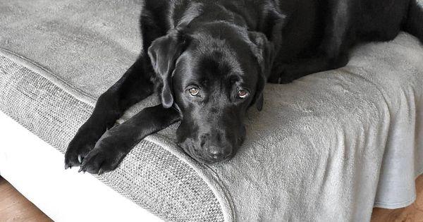 Habt Einen Gemutlichen Feierabend Labrador Pictures Dog Dogsofinstagram Dogs Hund Labrador Retriever Black Labrador Retriever Black Labrador