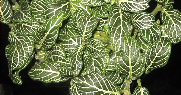 Fittonia nerve plant or mosaic plant the veined leaves for How to take care of exotic angel plants