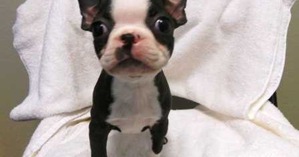 Baby Bt With Images Boston Terrier Puppy Boston Terrier