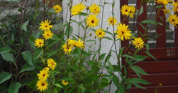 Topinambour asteraceae helianthus toberosus plante vivace rustique tr s r sistante au froid - Desherbant naturel puissant ...