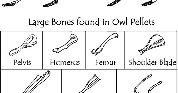 Here S A Bone Chart To Use When Dissecting Owl Pellets Owl Pellets Homeschool Science Teaching Science
