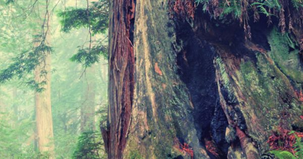 Redwood Forest Detail © Vincent James. Redwood National and State Parks ,