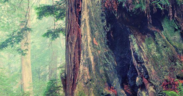 Redwood Forest Detail © Vincent James. Redwood National and State Parks ,