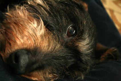 remedio casero de infección ocular pug