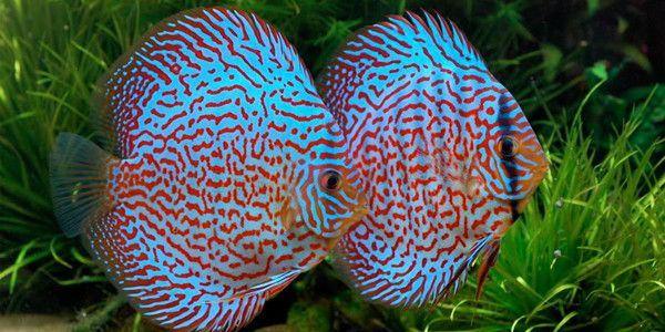Pin By Darrell Gulin On Discus Discus Fish Freshwater Fish Fish