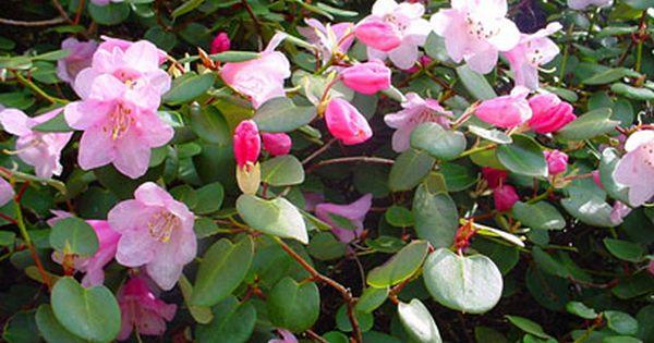 Rhododendron Williamsianum Azalea Shrub Rhododendron Plant Images