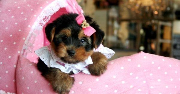 Teacup Yorkies For Sale Teacup Yorkie Dogs Florida Yorkie Teacup Puppies Teacup Puppy Breeds
