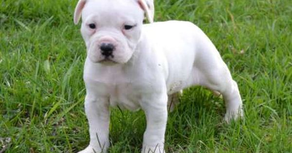 Types Of Pitbulls The 5 Popular Pit Breeds American Bulldog