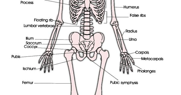 skeletal system  u2013 labeled diagrams human skeleton  the