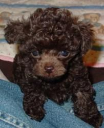 Chocolate Tiny Teacup Poodle Teacup Poodle Puppies Toy