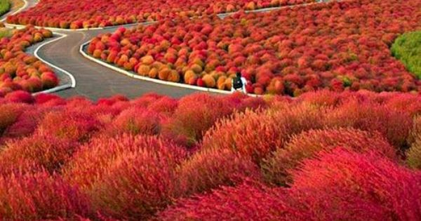 Hitachi seaside park, Hitachinaka, Ibaraki, Japan. These remind me of the Truffula