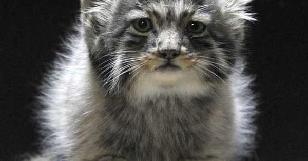 Russian wild kitten (manul) - I pallas Baby Cats cute cats