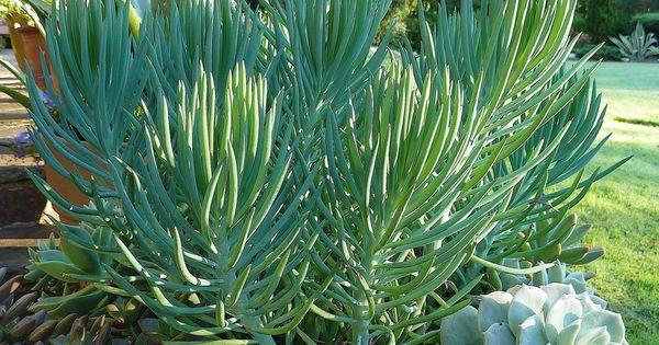 senecio talinoides cylindricus succulent centerpiece