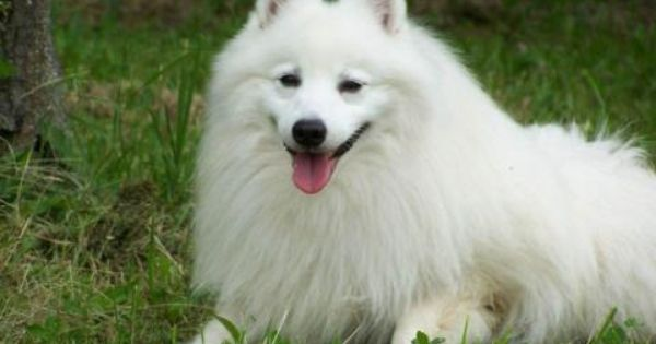 Top Ten Expensive Dog Breeds In The World Japanese Spitz