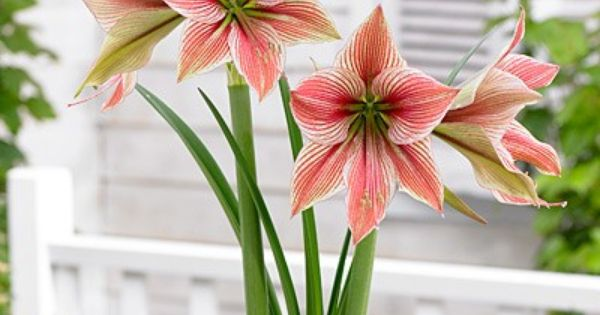 Pin On Amaryllis Flowers